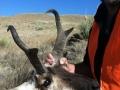 12-antelope